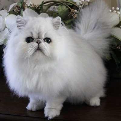 You Paid How Much for Your Pet? 13 Most Expensive Cat Breeds