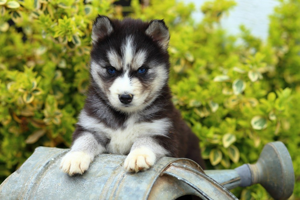Siberian Husky puppy sits on watering can