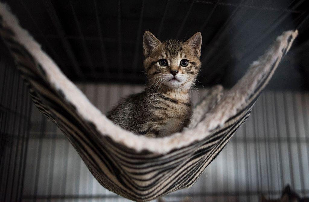 A Siberian Kitten