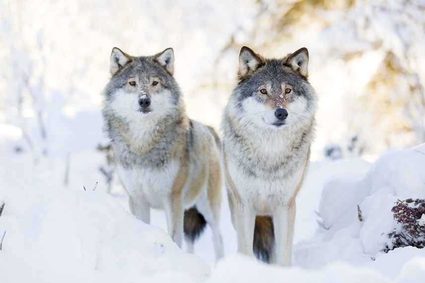 Wolf pack standing in the woods