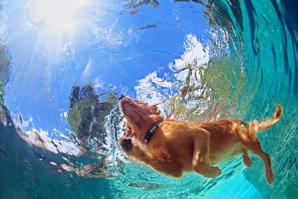 Golden labrador retriever swimming