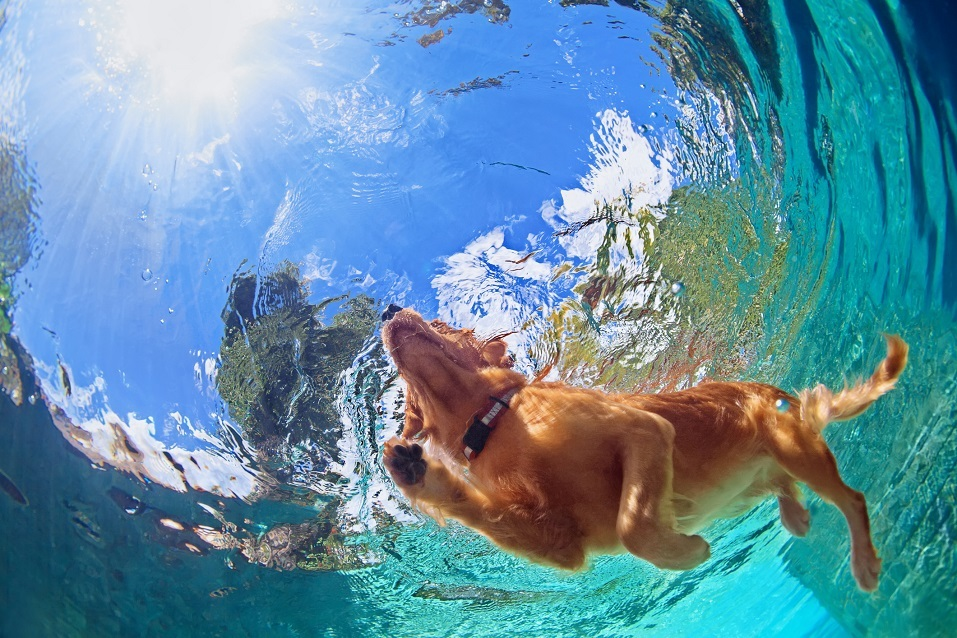 Golden labrador retriever swimming