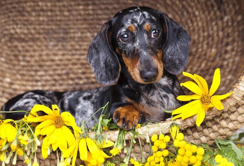 Dachshund sitting with flowers