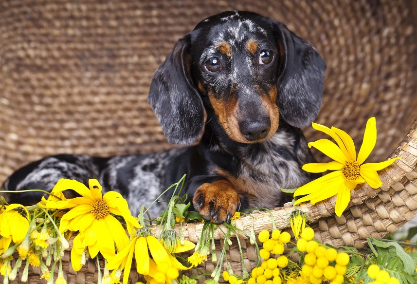 Dachshund sitting with flowers