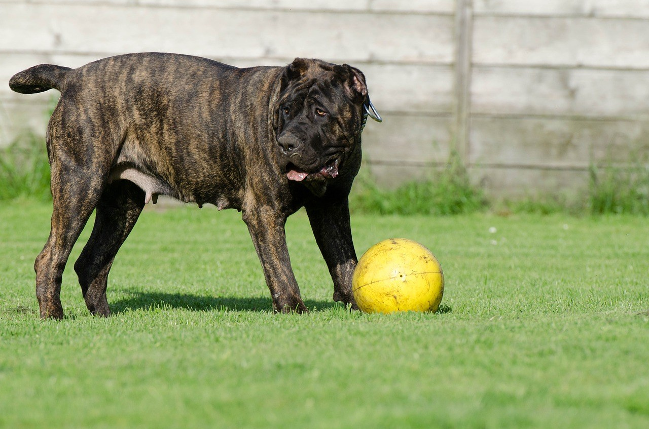 Presa Canario playing with a ball