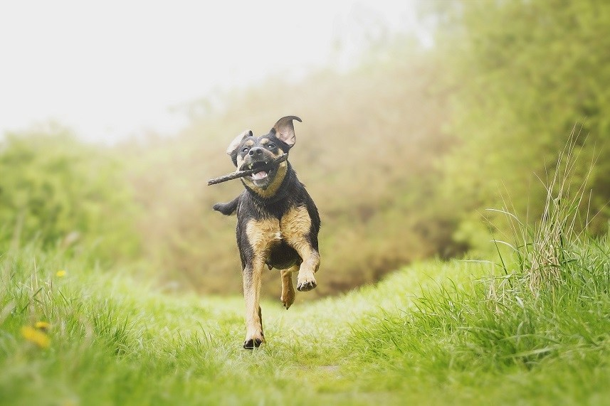 Rottweiler puppy holding a stick