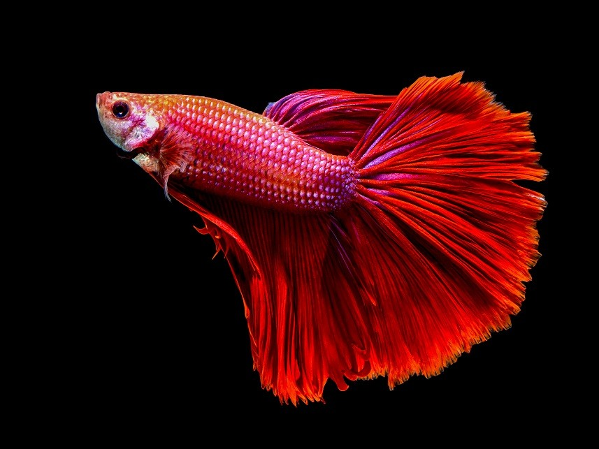 Macro red siam fighting fish