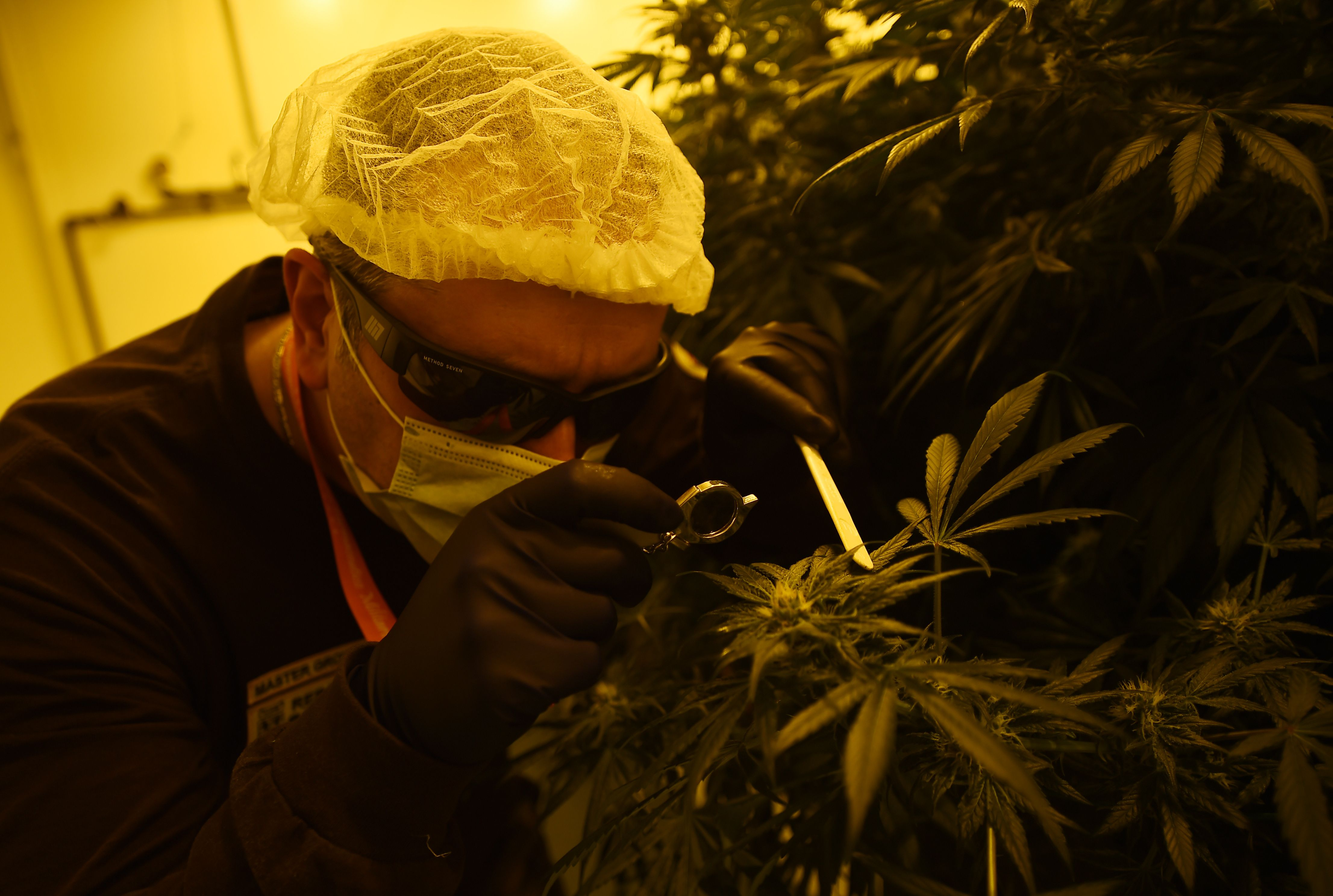 A researcher in a marijuana growing room inspects plant buds
