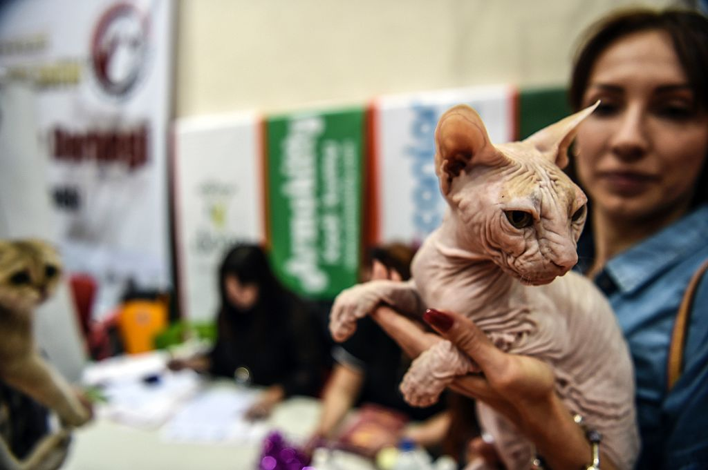 A woman holds a sphynx breed cat