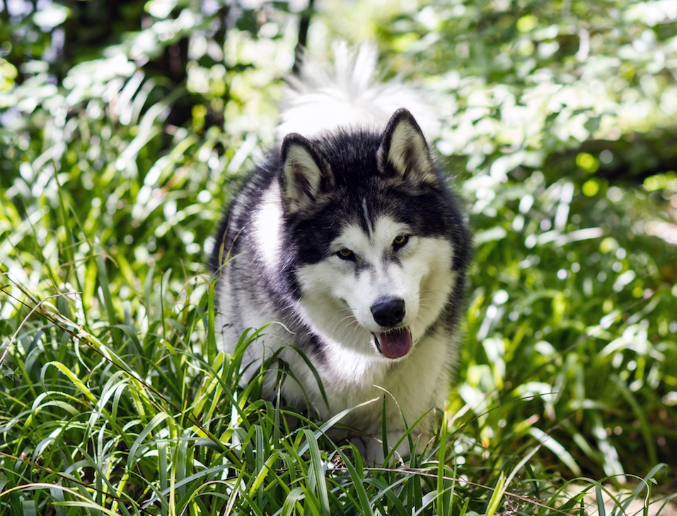 Alaskan Malamute in grass