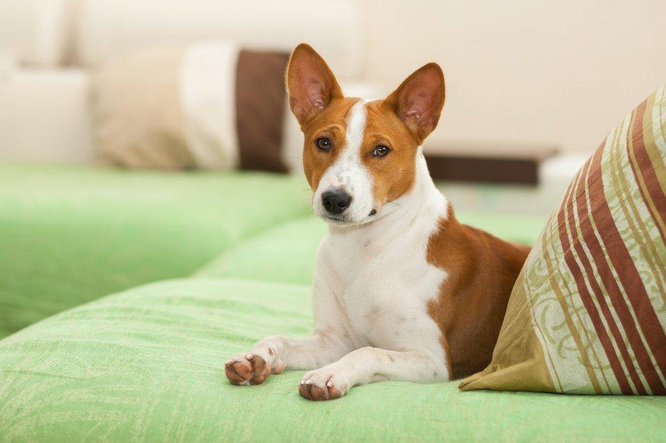Cute basenji dog lying on the sofa