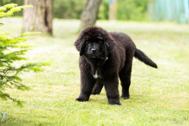 The Newfoundland is one of the best dogs for kids