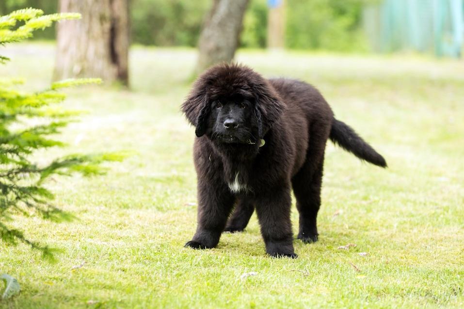 Beautiful Newfoundland puppy