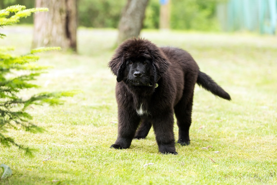 Beautiful Newfoundland puppy