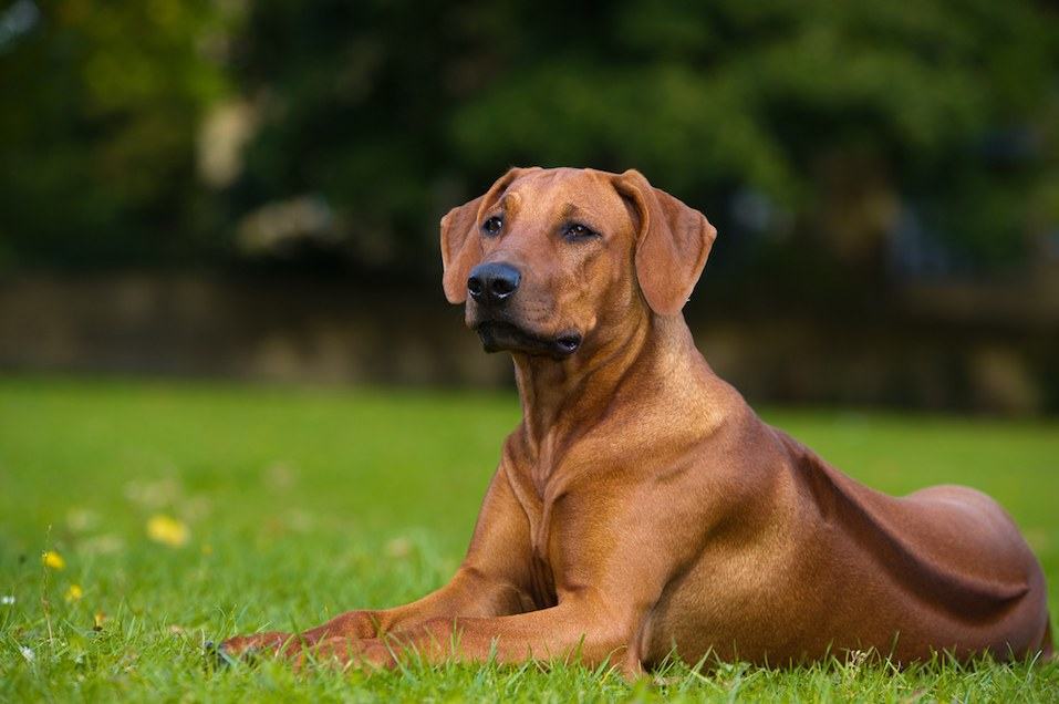 dog rhodesian ridgeback puppy