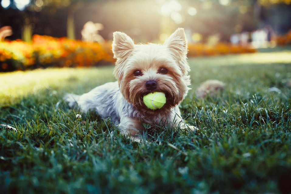 yorkshire terrier playing with a ball on a grass