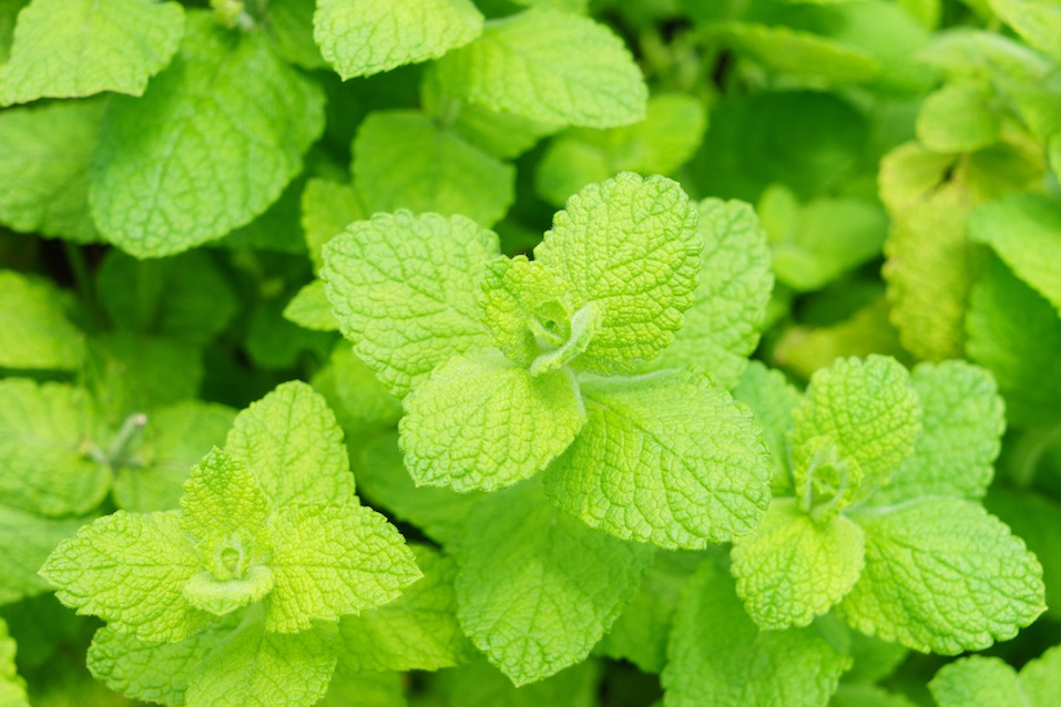 Is Mint Toxic To Cats And Dogs