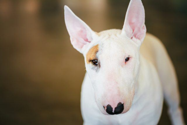 The bull terrier is one of the best dogs for kids