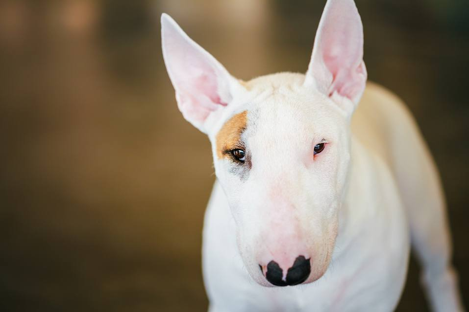 White Bullterrier Dog