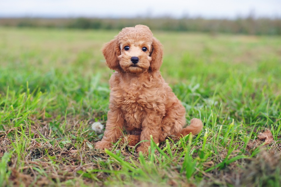 Cute red Toy Poodle puppy sitting outdoors on green grass