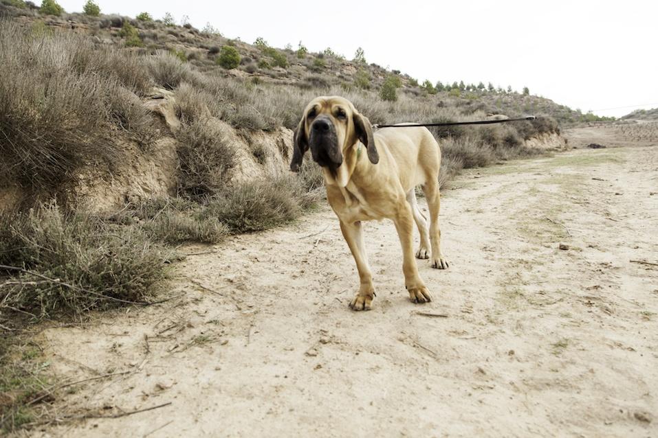 hound on sandy trail
