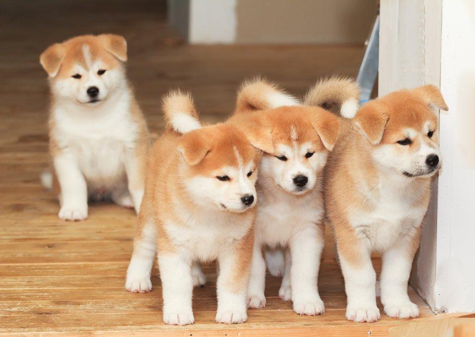 Four akita puppies