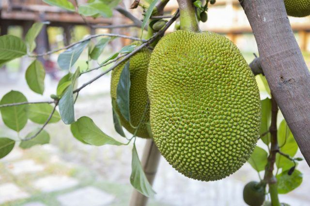 Green jackfruit hanging on a tree