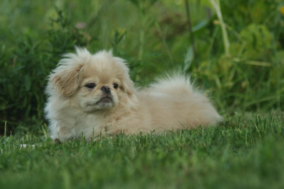 Happy pekingese puppy outdoors on a sunny day on the grass in the garden.