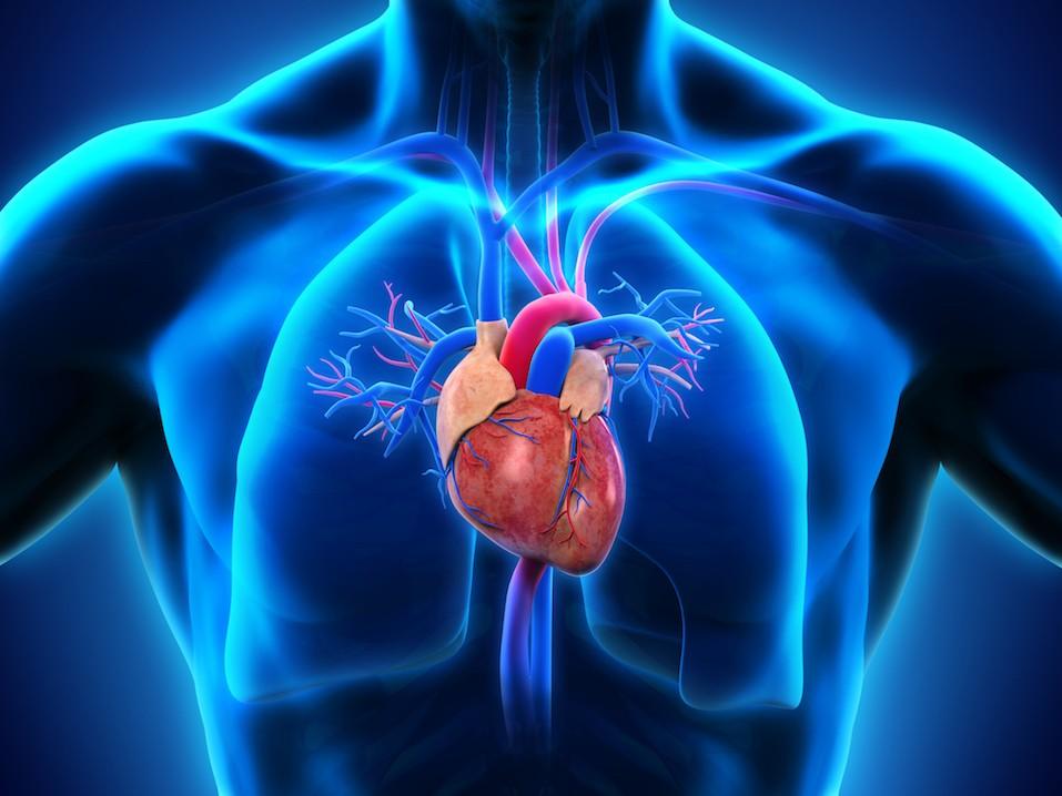Human Heart Anatomy Illustration. 3D render