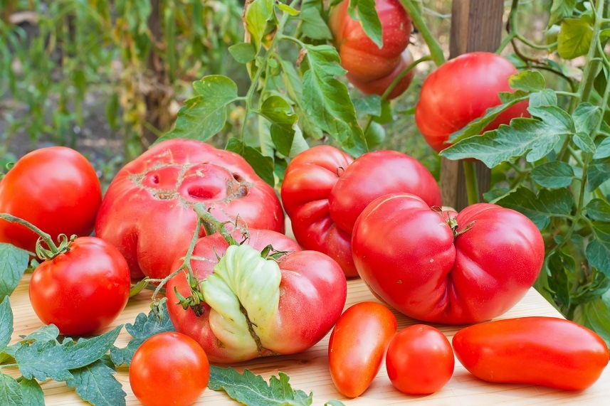 malformed tomatoes