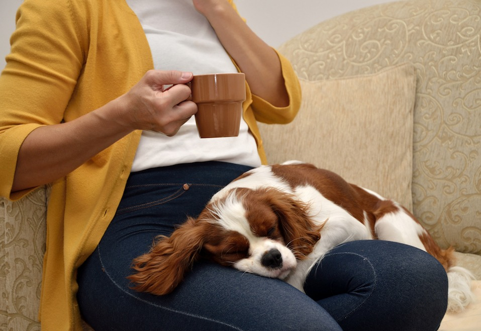Lady sitting on sofa drinking coffee and a lovely dog (Cavalier King Charles Spaniel, Blenheim) sleeping on her lap
