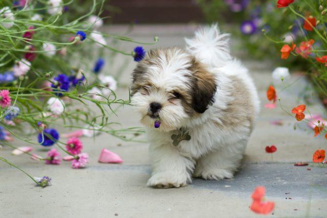 Cute lhasa apso puppy chewing a flower