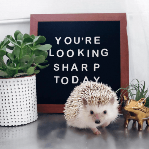 Lionel and Lilo the hedgehogs