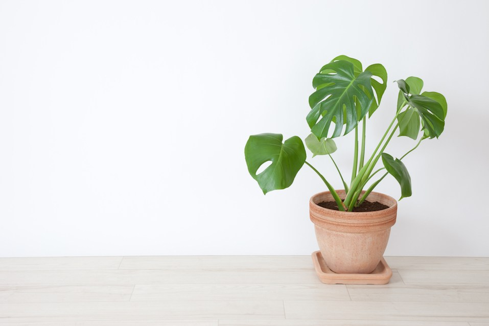 Monstera plant with white background