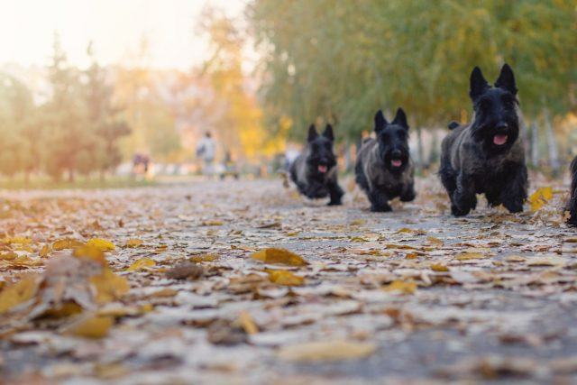 Multiple Scottish terriers run in a park on a beautiful autumn day