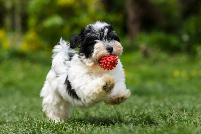Havanese puppy running in grass with ball