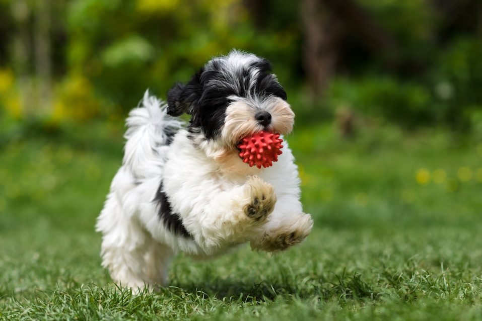 A Havanese puppy running with a ball