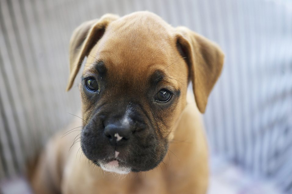 Puppy Boxer Dog