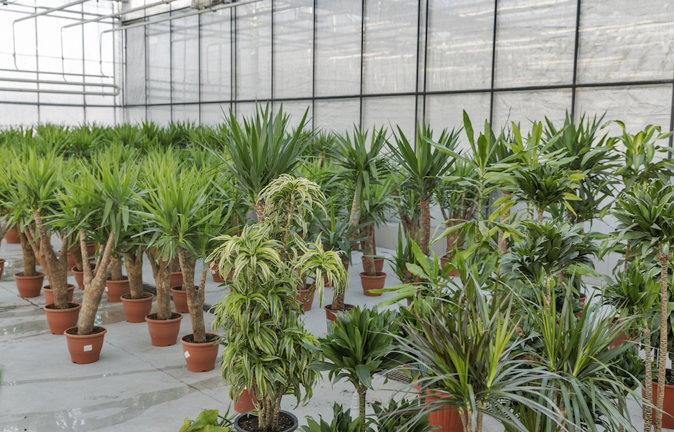 Houseplants in a greenhouse