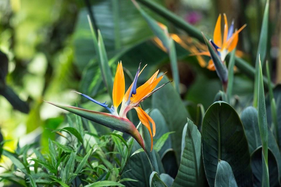Strelitzia flower in the greenhouse