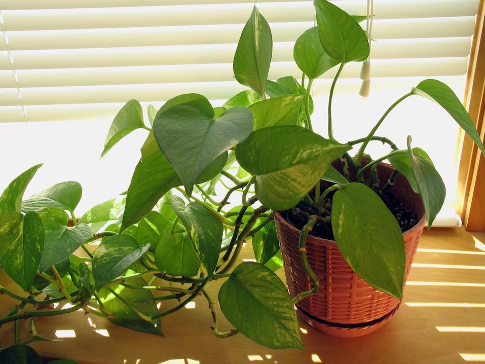 vine plant by window