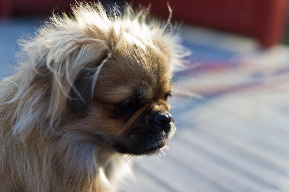 A Tibetan Spaniel looking thoughtful