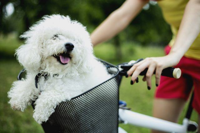 White dog in bike basket