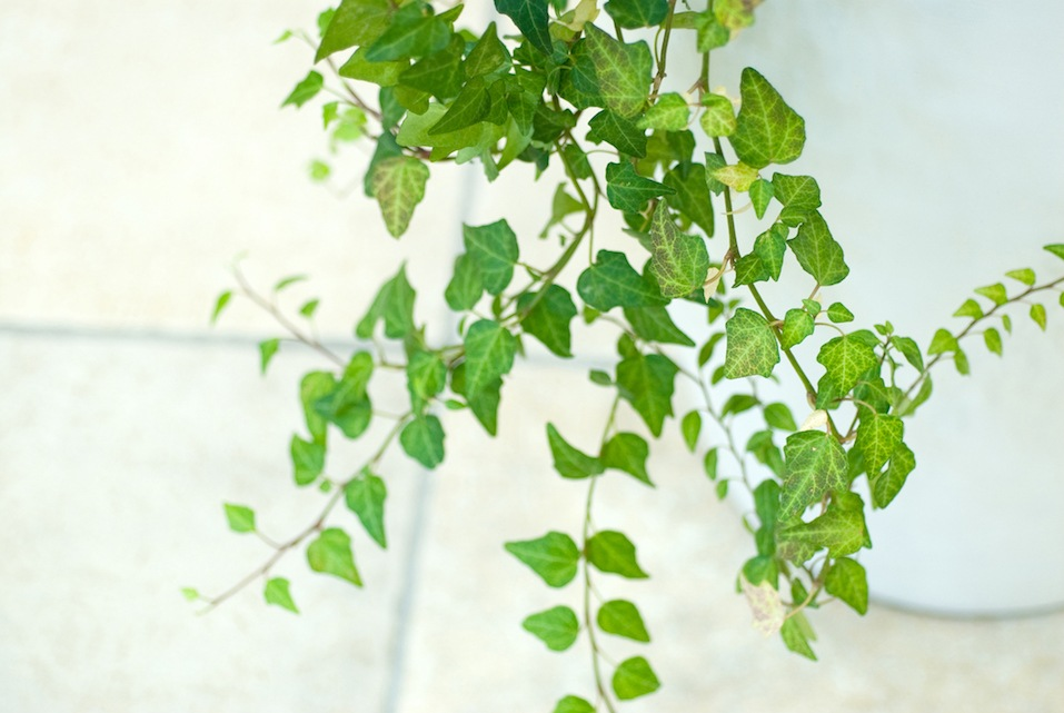 ivy in white pot
