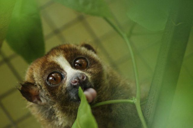 A slow loris in its cage at a sanctuary