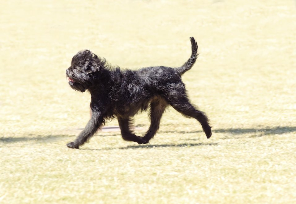 The Affie looks like a monkey and is an active, adventurous, curious, stubborn, fun-loving and playful breed.