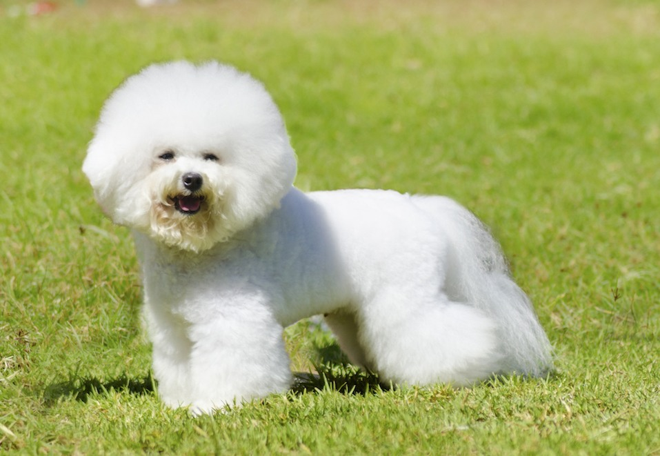 A small beautiful and adorable white bichon frise dog standing on the lawn and looking cheerful.