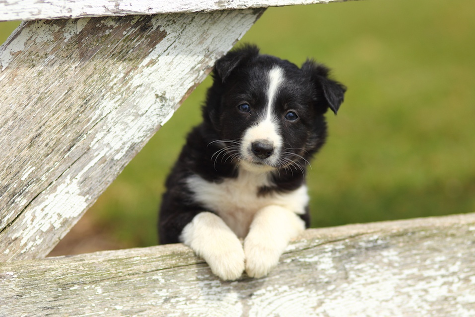 border collie puppy behind a fence
