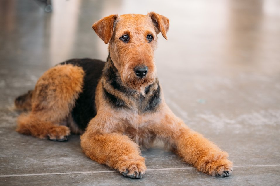 Brown Airedale Terrier Dog Close Up