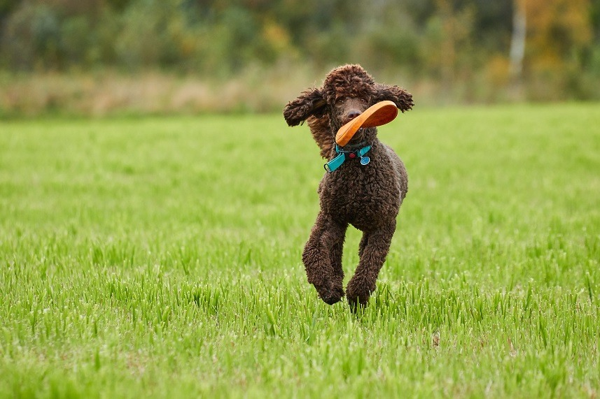 Brown poodle running with a toy